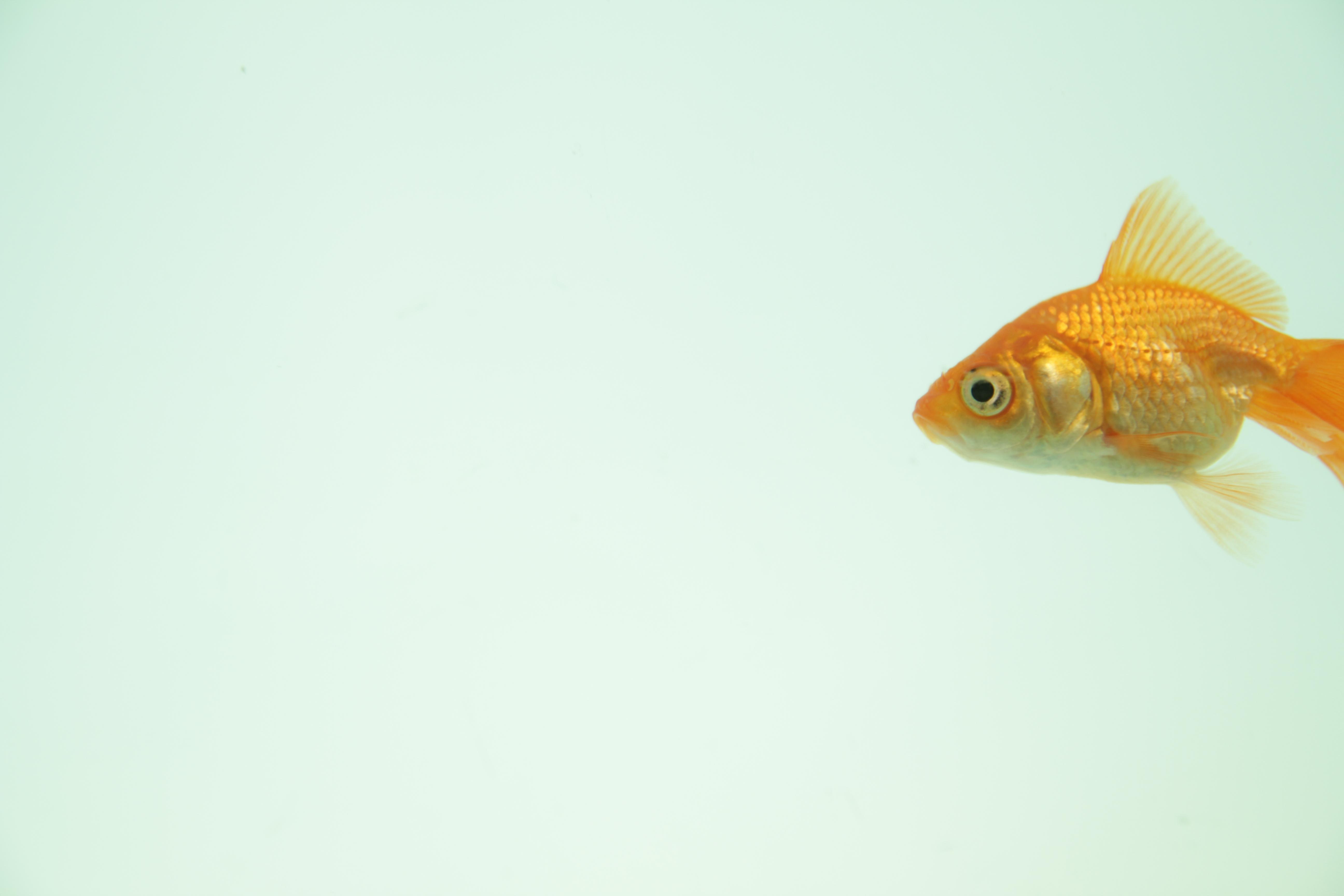 goldfish_1277223_90673634